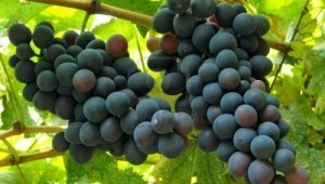 Ripening grape clusters.