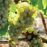 Viticulture feature (9)